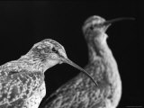 Extinct Eskimo Curlews in an Exhibit Photographic Print by Joel Sartore