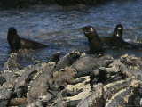 Iguanas Bask on Rocks and Seals Play at the Oceans Edge Photographic Print by Steve Winter