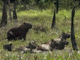 Capybaras Wade in Balbina Lake Photographic Print by Nicole Duplaix