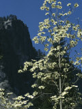 Pacific Dogwood Tree Blossoms against Blue Sky Near a Rock Face Photographic Print by Marc Moritsch