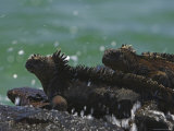 Marine Iguanas Perched on a Rock at the Edge of the Surf Photographic Print by Ralph Lee Hopkins