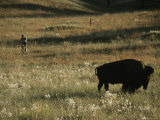 A Cyclist Rides Near a Buffalo in Custer State Park Photographic Print by Bobby Model