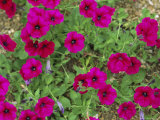 Glowing Magenta Petunias in Bloom Photographic Print by Darlyne A. Murawski