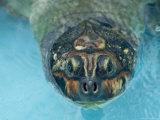 Giant Amazon River Turtle in Balbina Lake Photographic Print by Nicole Duplaix