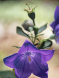 Close View of a Balloon Flower in Bloom Photographic Print by Darlyne A. Murawski