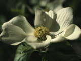 Close View of a Pacific Dogwood Blossom Photographic Print by Marc Moritsch