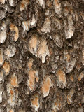 Close View of Pine Tree Bark, Photographic Print