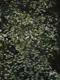 Delicate Pacific Dogwood Tree Blossoms Making a Lacy Pattern Photographic Print by Marc Moritsch