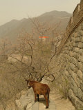 A Donkey Stands Next to the Great Wall of China Photographic Print by Richard Nowitz