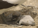 A Masked Booby Chick at Its Parents Feet Photographic Print by Ralph Lee Hopkins
