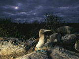 A Blue-Footed Booby on a Rock at Night Photographic Print by Steve Winter