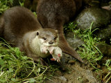 Adult Asian Short-Clawed River Otter Carries a Newborn Photographic Print by Nicole Duplaix