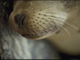 The Nose and Whiskers of a Sleeping Galapagos Sea Lion Fotografie-Druck