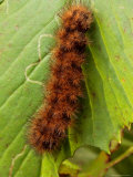 A Yellow Bear or Virginia Tiger Moth Caterpillar on an Ash Leaf Photographic Print by George Grall