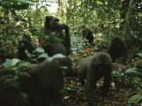 A Group of Gorillas in a Woodland Setting Photographic Print by Michael Nichols