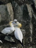 Northern Gannets and Chicks Roost on Cliffs Above the Atlantic Ocean Photographic Print by Norbert Rosing