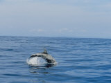 A Rissos Dolphin Leaping and Diving as It Swims Photographic Print by Jason Edwards