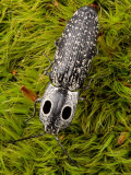 An Eyed Click Beetle, Alaus Oculatus, Crawling Over Moss Photographic Print by George Grall