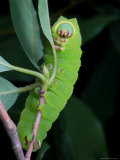A Luna Moth Caterpillar, Actias Luna, on a Twig Photographic Print by George Grall