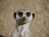 Portrait of a Captive Meerkat Photographic Print