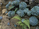 Sempervivums and Ferns Grow from a Wall of Rock Photographic Print by David Evans