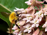 A Golden Northern Bumble Bee, Bombus Fervidus, Feeding on Milkweed Photographic Print by George Grall