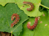 A Trio of Forester Caterpillars, Species Unidentified Photographic Print by George Grall