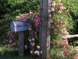 A Climbing Rose on a Pole Near a Mailbox Photographic Print by Darlyne A. Murawski