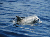 A Rissos Dolphin Surfacing for Air as It Swims Photographic Print by Jason Edwards