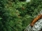 A Brightly Colored and Spiny Caterpillar on a Branch Photographic Print by Michael Nichols