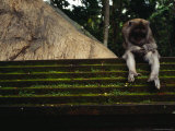 A Monkey Sits Contemplatively on a Temple Wall in the Ubud Monkey Forest Photographic Print by Justin Guariglia