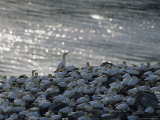 Flocks of Northern Gannets Roost on Cliffs Above the Atlantic Ocean Photographic Print by Norbert Rosing