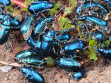 Mexican Blue Beetles in a Feeding Frenzy Photographic Print by George Grall