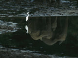 Reflections of Forest Elephants and an Egret in Langoue Bai Water Photographic Print by Michael Nichols
