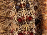 Close Detail of the Gypsy Moth Caterpillar, Lymantria Dispar Photographic Print by George Grall