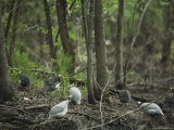 Guineafowl Forage on the Woodland Floor Photographic Print