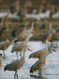 Sandhill Cranes Roost in the Platte River Photographic Print by Joel Sartore