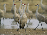 A Group of Sandhill Cranes Photographic Print by Joel Sartore