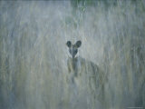 A Swamp Wallaby in Tall Grass Photographic Print by Jason Edwards