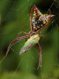 Micrathena Sagittata Spider Feeding on a Scarlet and Green Leaf Hopper Photographic Print by George Grall