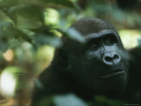 An Adult Gorilla in a Wooded Setting Photographic Print by Michael Nichols