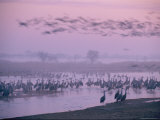 Sandhill Cranes Roost in the Platte River on a Foggy Morning Photographic Print