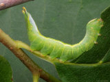 A Luna Moth Caterpillar, Actias Luna, Eating a Leaf Photographic Print by George Grall