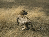 A Cheetah Startled by Another Approaching Cheetah Photographic Print by Jason Edwards