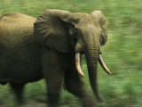 Adult Male Forest Elephant on the Move Photographic Print by Michael Nichols