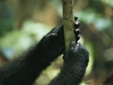 Close View of a Gorillas Hands Grasping a Sapling Photographic Print by Michael Nichols