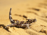 A Thorny Devil (Moloch Horridus) on Sand Photographic Print by John Dunn/Arctic Light