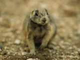 A Utah Prairie Dog Photographic Print