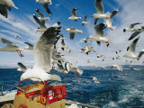 Silver Gulls Feed on Fish Scraps on the Back of a Boat Photographie par Jason Edwards