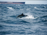 A Common Dolphin Leaping from Water Near a Tanker Photographic Print by Jason Edwards